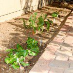 Gardening in Phoenix {Trying My Green Thumb}